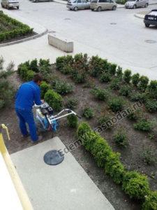 Садовник в нашей ЖК занимается розами и окучивает землю под соснами